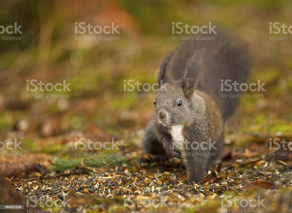 Red squirrel raiding the bird feed royalty-free stock photo