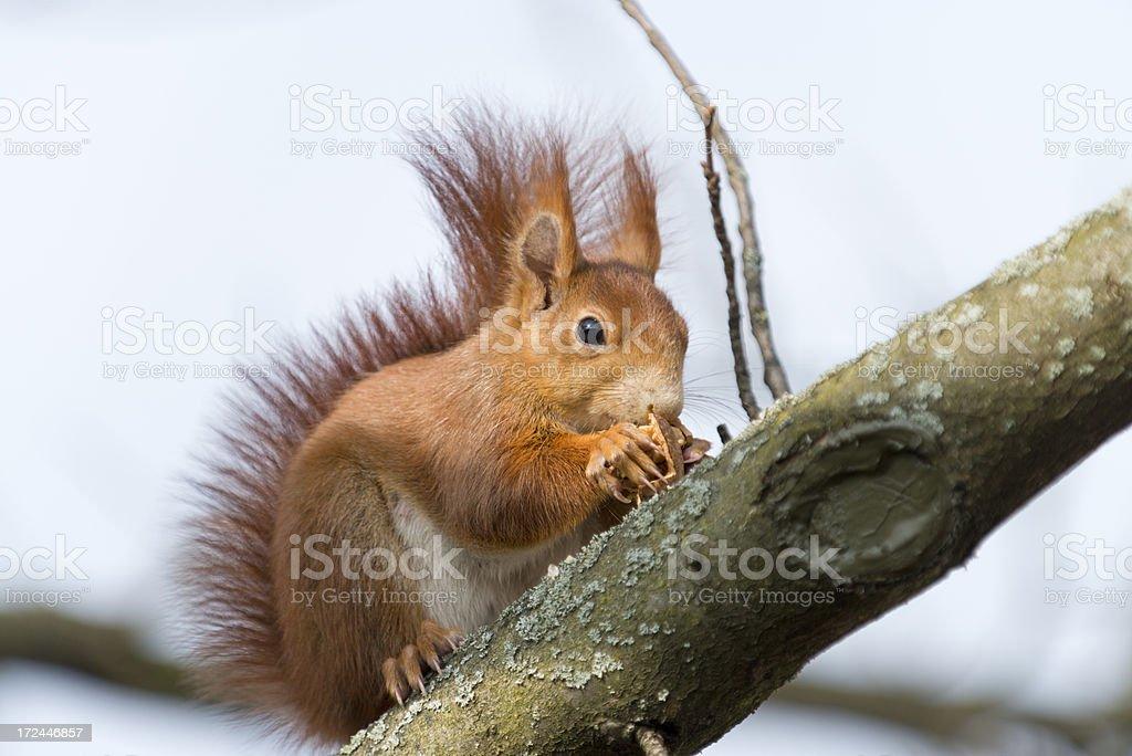 Red Squirrel , Sciurus vulgaris  (image size XXXL) royalty-free stock photo