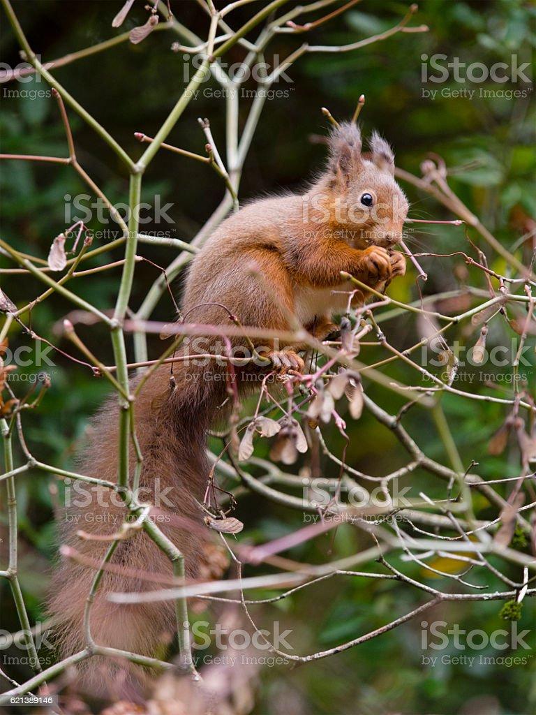 Red Squirrel (Sciurus vulgaris), Scotland stock photo