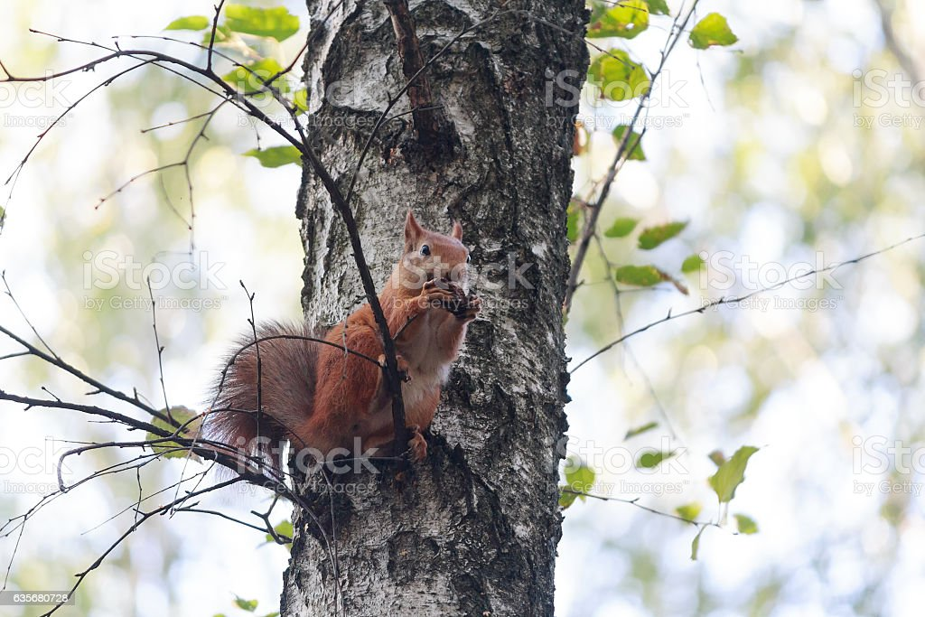 Red squirrel sitting on the tree eating a walnut stock photo