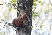 Red squirrel sitting on the tree eating a walnut