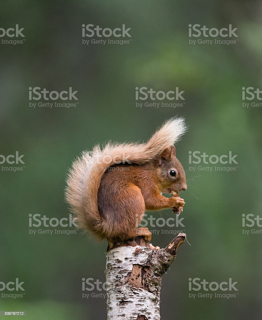Red squirrel sitting on tree stump eating a peanut stock photo