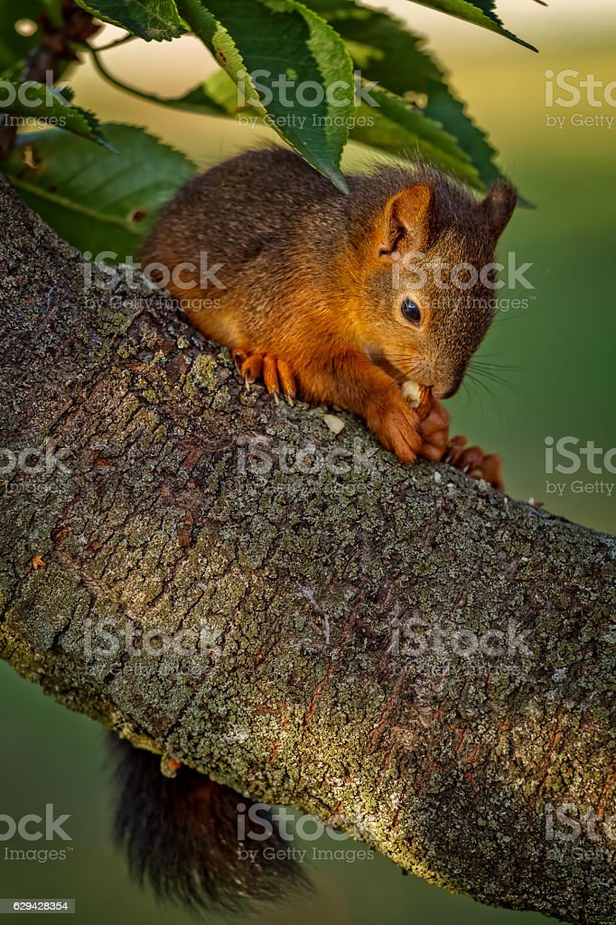 Red squirrel standing on the tree and eating stock photo