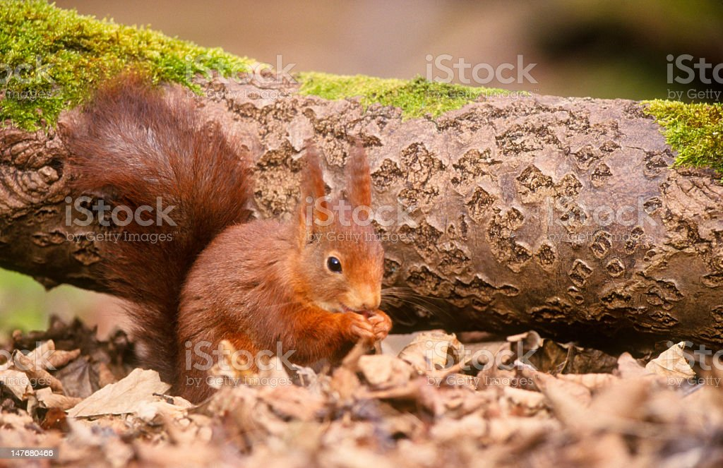 Red squirrel with bushy tail royalty-free stock photo