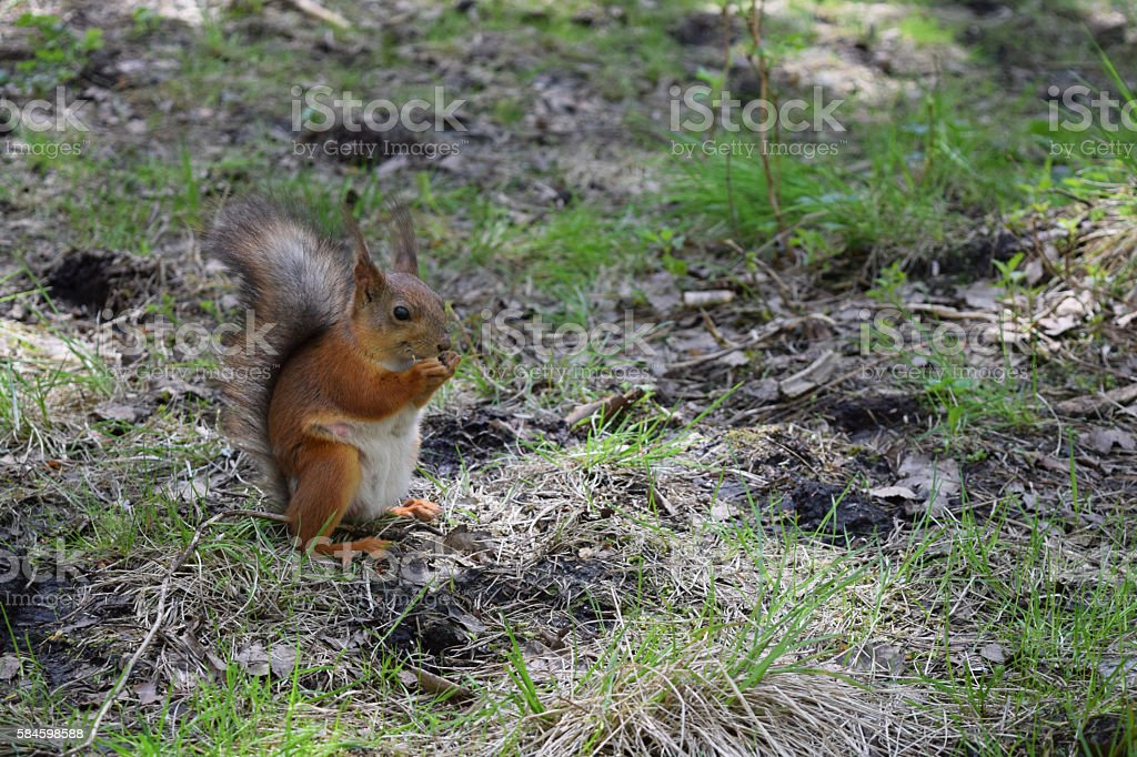 Red squirrel with pap, naze and eyes sitting on grass stock photo