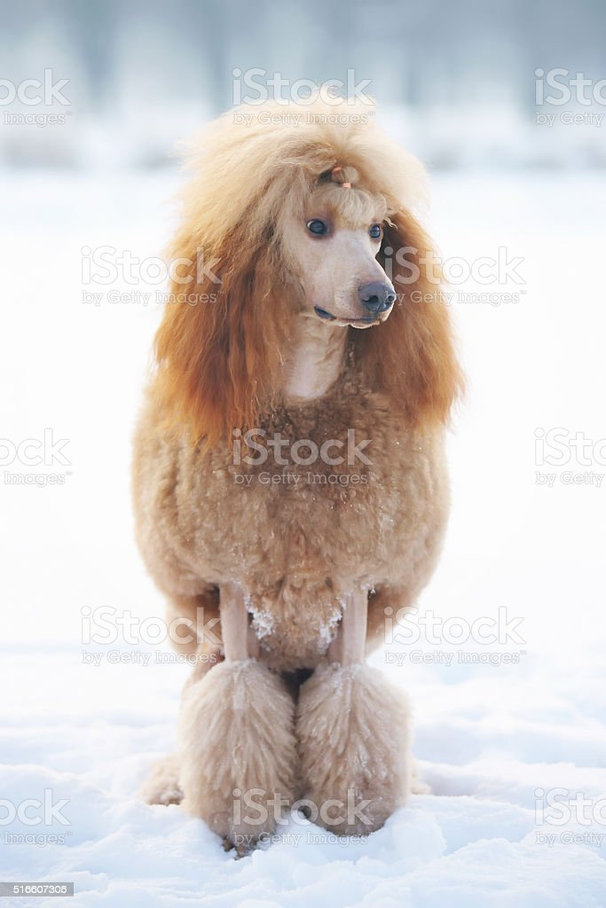 Red Standard Poodle dog sitting outdoors on the snow stock photo