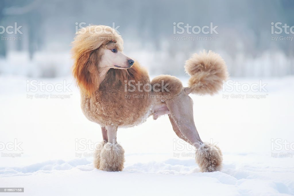 Red Standard Poodle dog staying outdoors on the snow stock photo