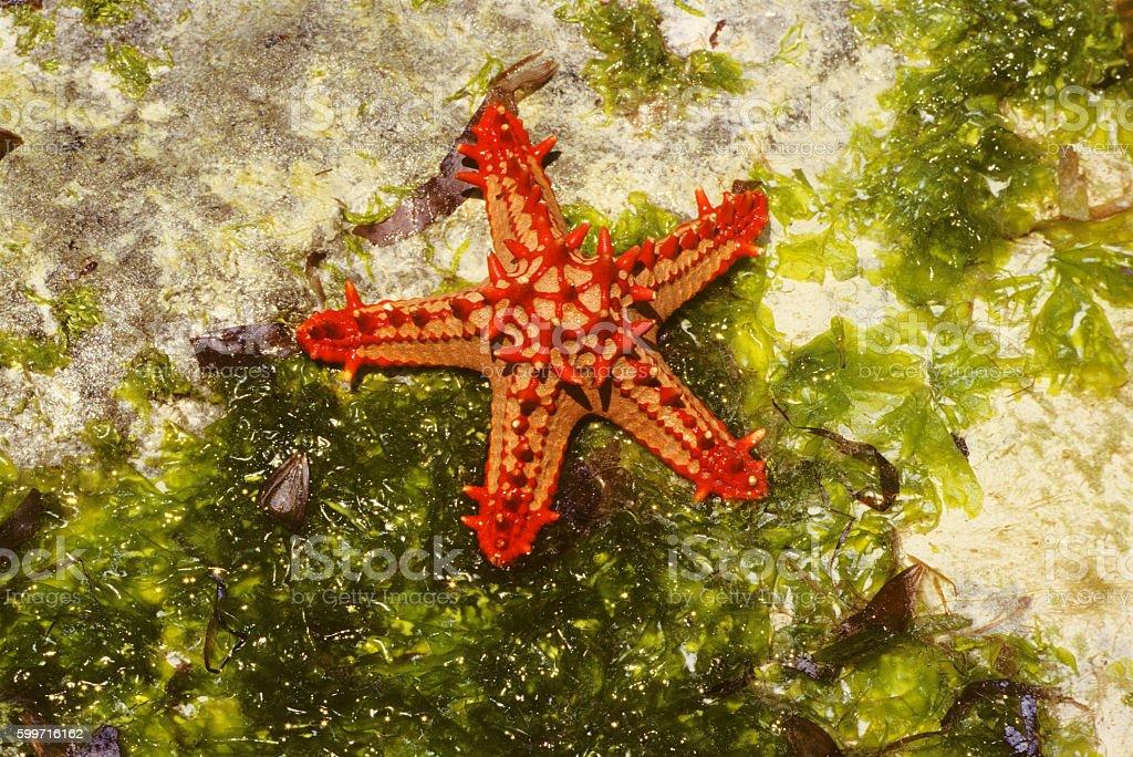 Red starfish in Diani beach, Kenya stock photo