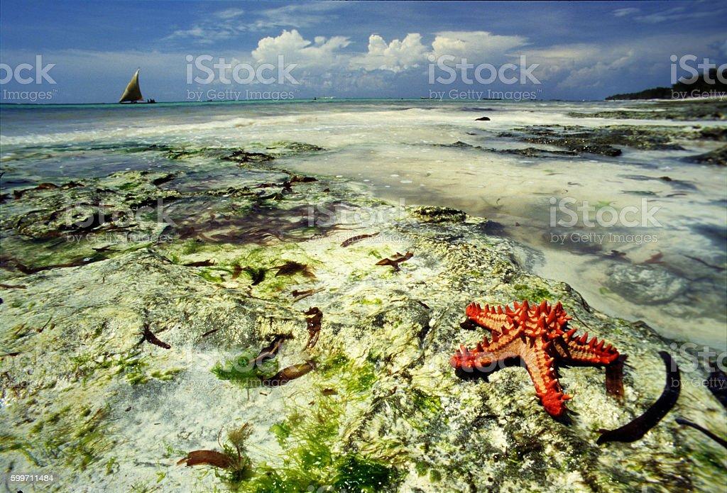Red starfish in the seashore at Diani beach, Kenya stock photo