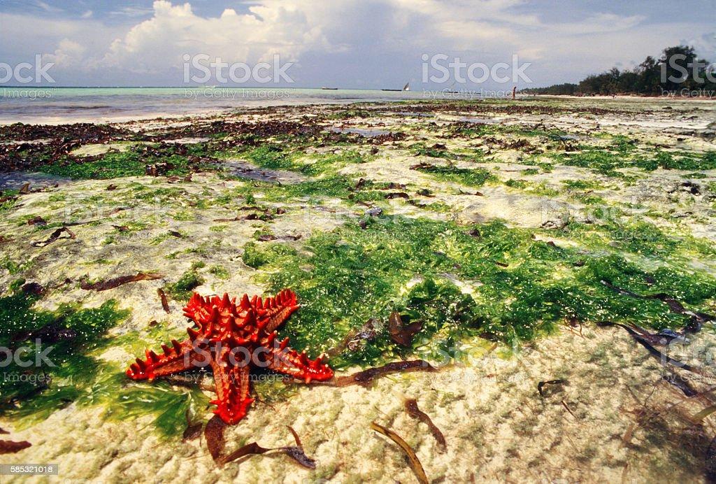 Red starfish on the sea shore at Diani beach, Kenya stock photo