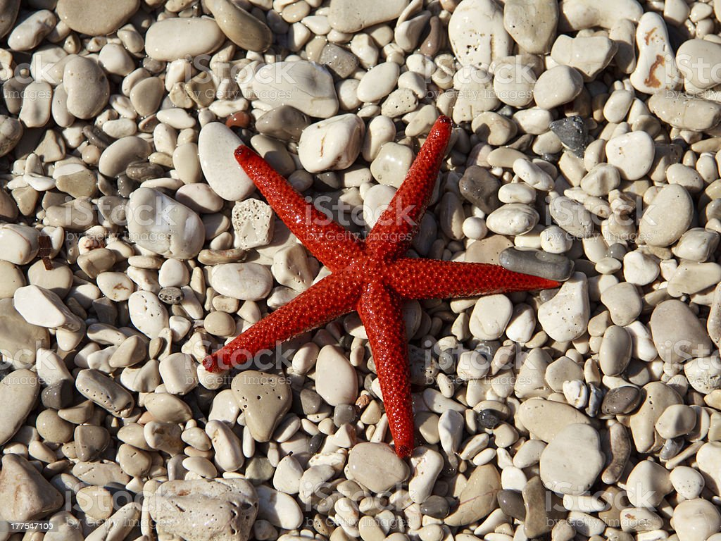 Red starfish (Echinaster sepositus) royalty-free stock photo