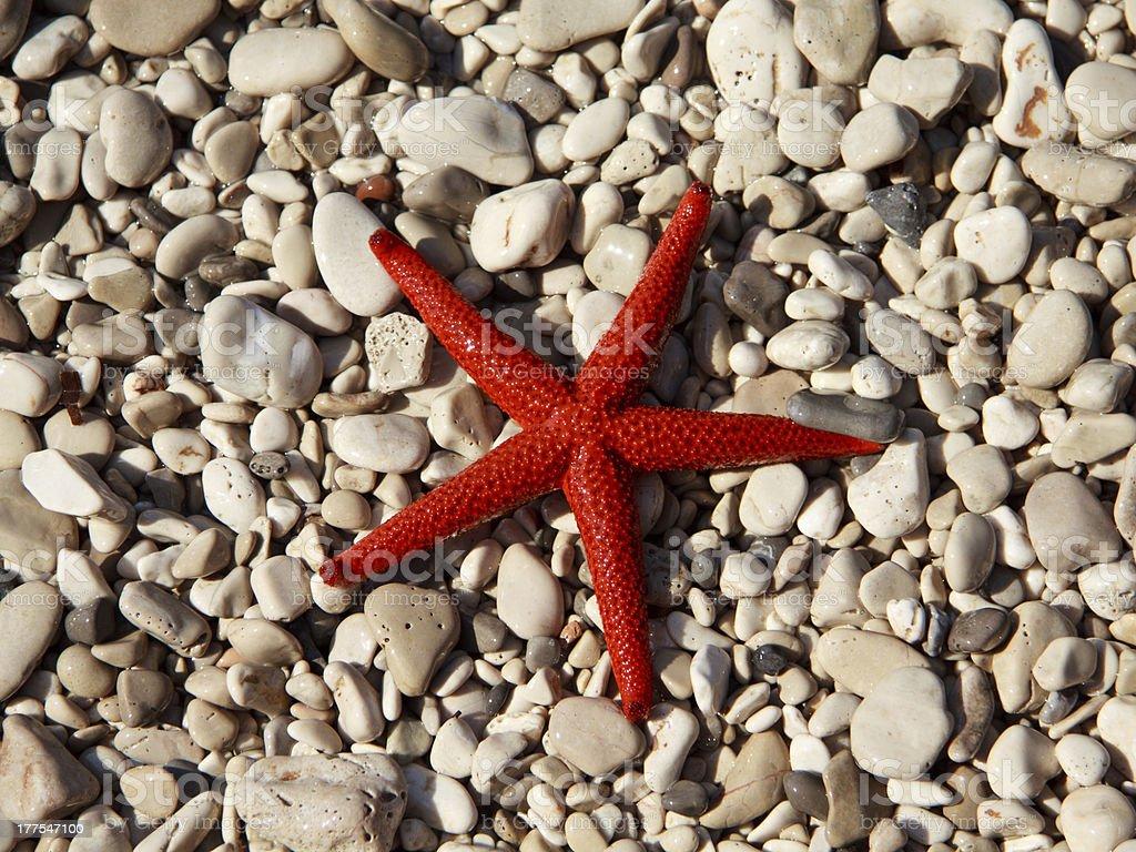 Red starfish (Echinaster sepositus) stock photo