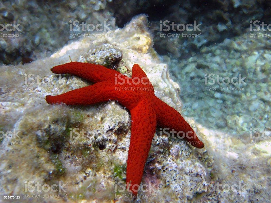 Red starfish stock photo