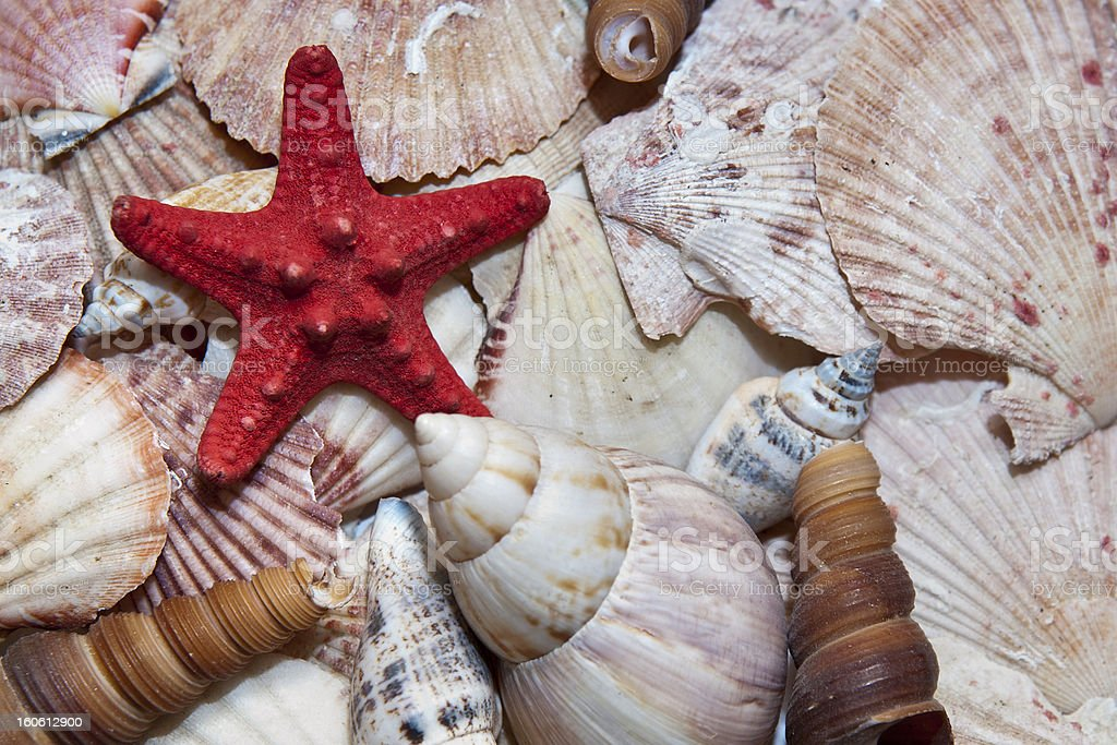 Red starfish surrounded by sea shells royalty-free stock photo