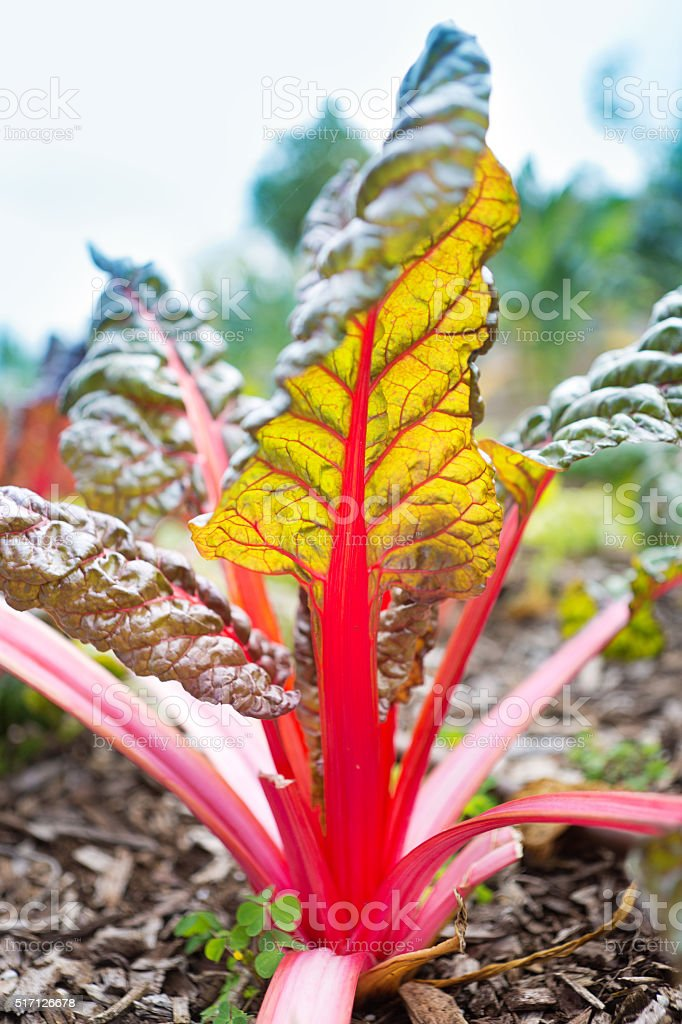 Red stem Swiss Chard Plant in the Vegetable Garden stock photo