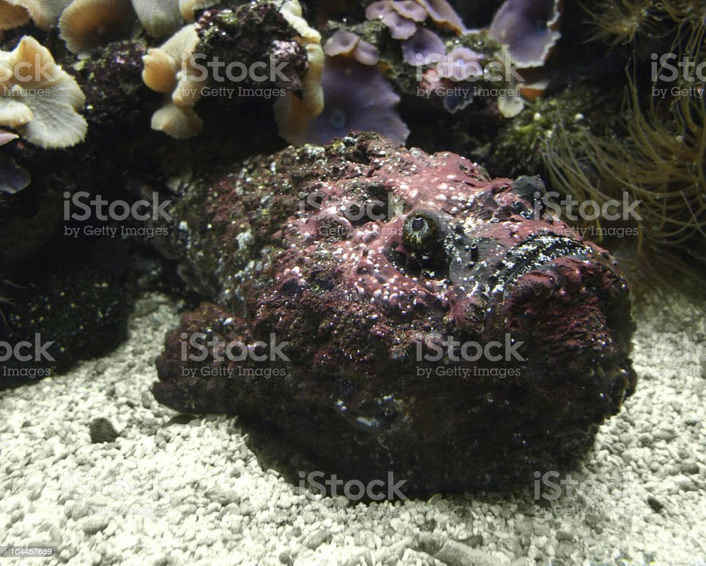 red Stonefish on the ground stock photo