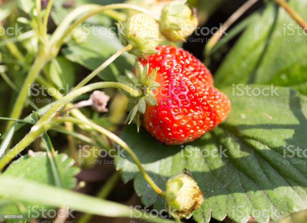 red strawberries in the garden in the nature stock photo