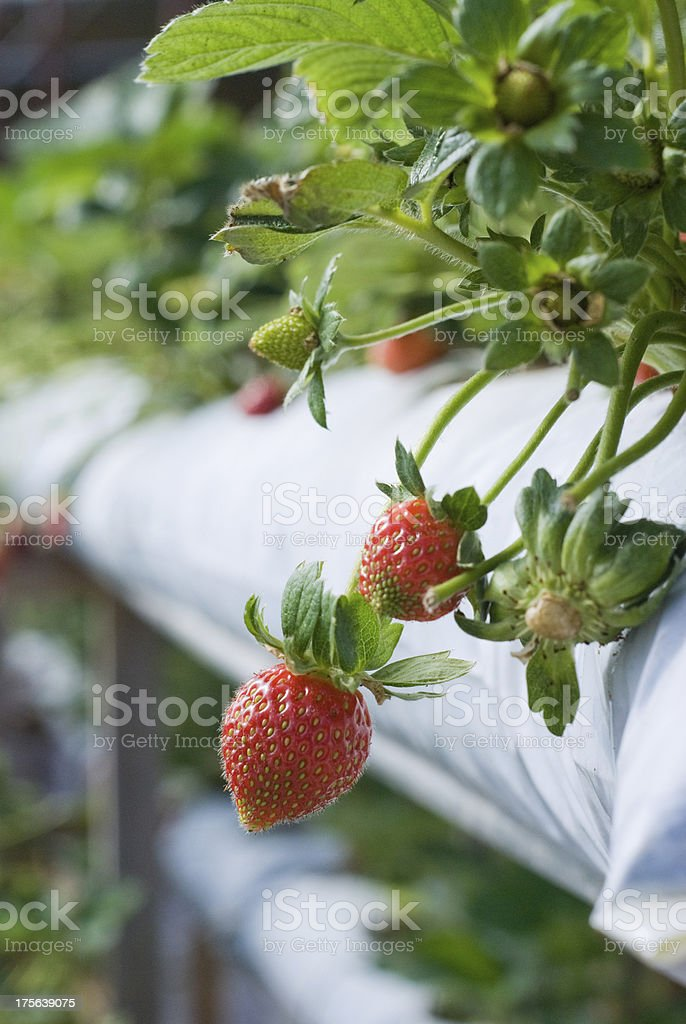 red strawberry stock photo