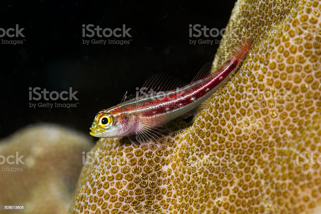 Red Striped Goby stock photo