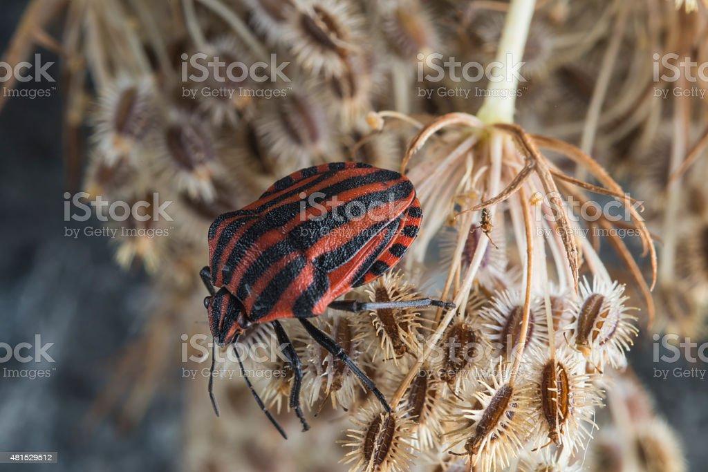 Red striped Graphosoma lineatum/Graphosoma semipunctatum on plant stock photo