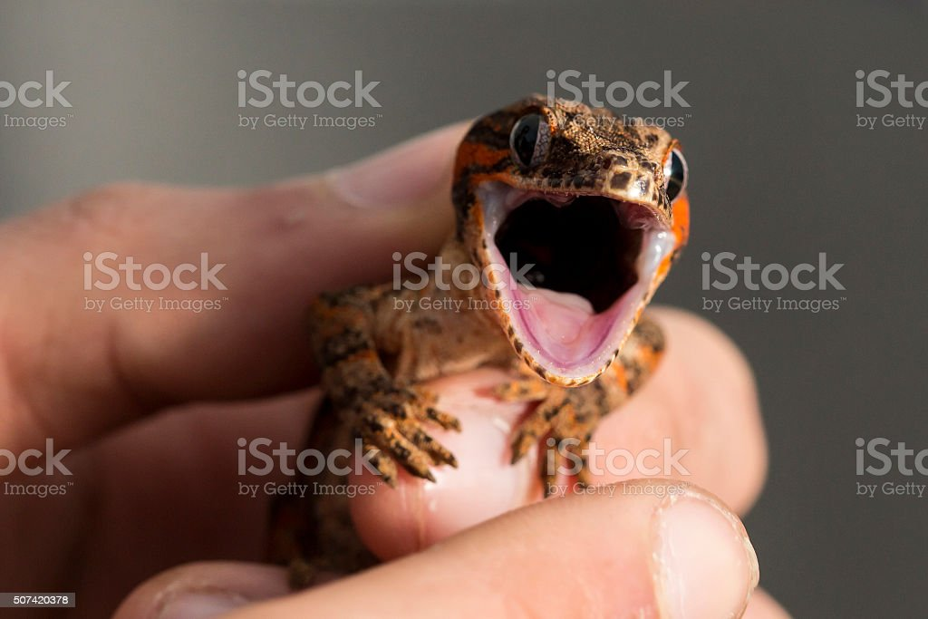 Red striped new Caledonian bumpy gecko with open mouth stock photo