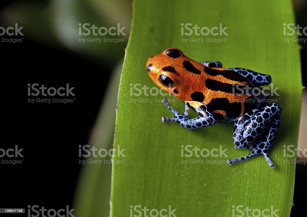 red striped poison dart frog blue legs stock photo