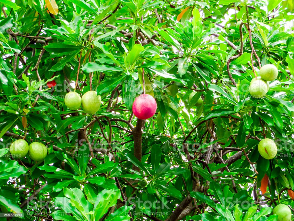 red suicide ball on suicide tree at the garden stock photo