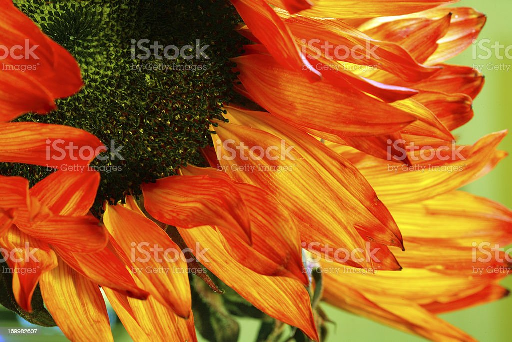 Red Sun Flower royalty-free stock photo