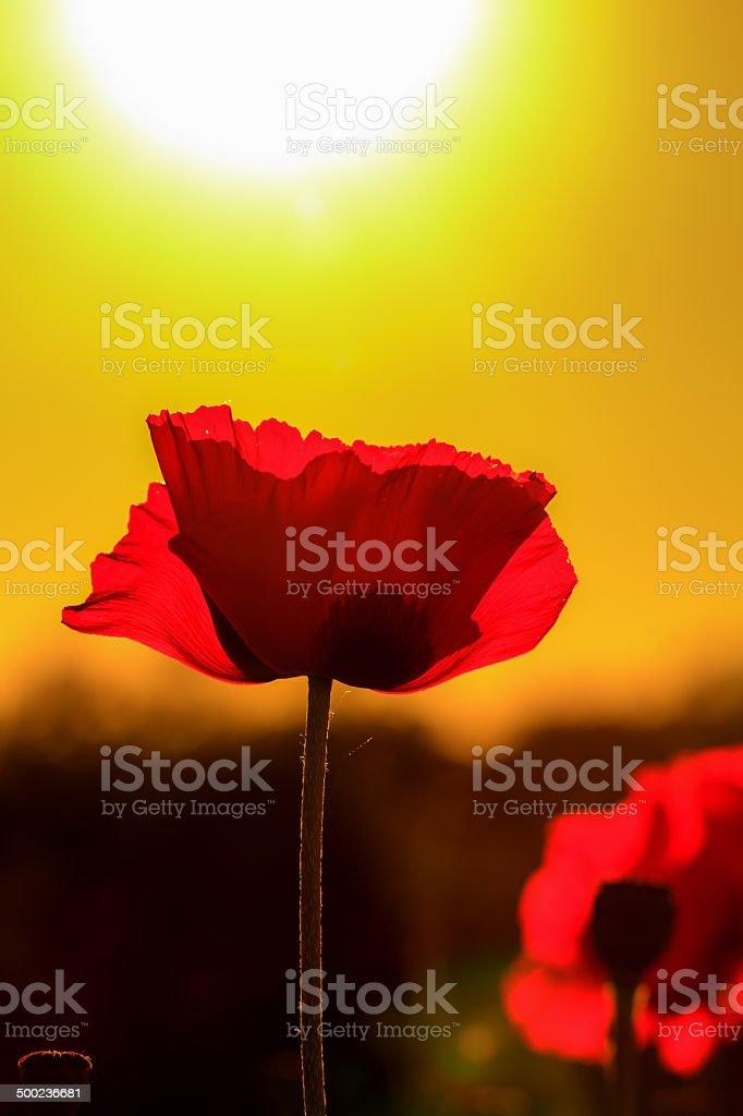 Rot Sonnenuntergang Mohn Blume Lizenzfreies stock-foto