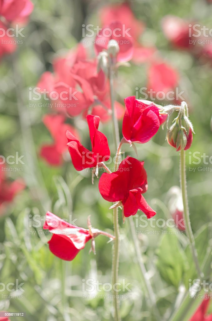 Red Sweet Pea Flowers stock photo