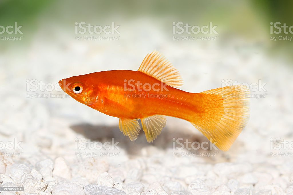 Red Swordtail Female Xiphophorus Helleri aquarium fish isolated on white stock photo