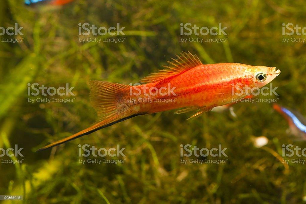 Red Swordtail fish stock photo