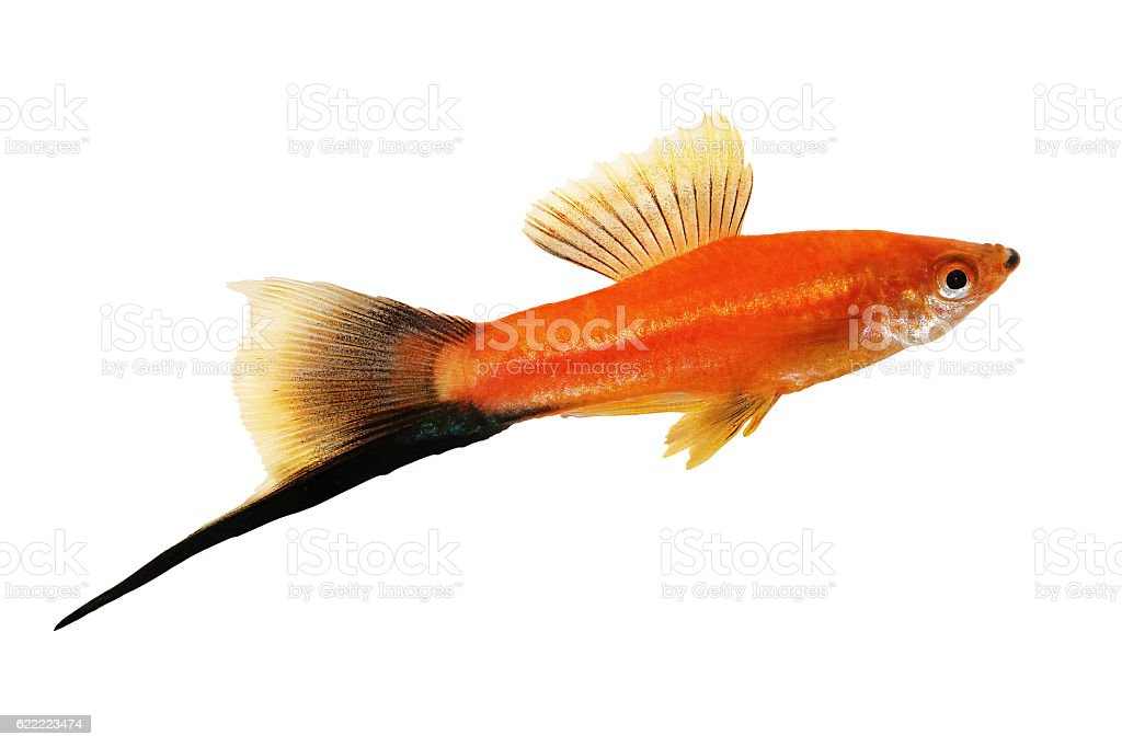 Red Swordtail Male black tail Xiphophorus Helleri aquarium fish stock photo