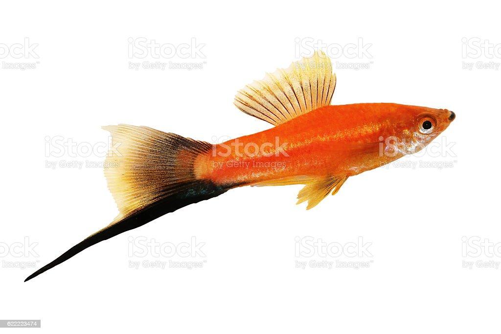 Red Swordtail Male black tail Xiphophorus Helleri aquarium fish stock photo