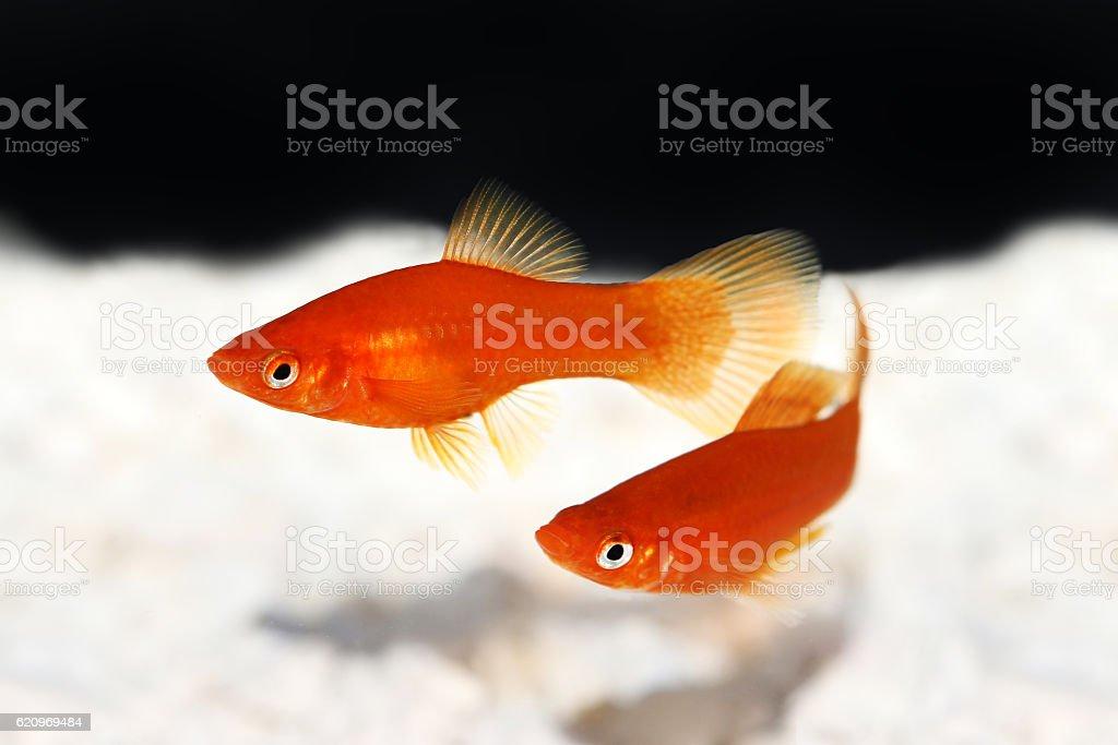 Red Swordtail Xiphophorus Helleri aquarium fish isolated on white stock photo