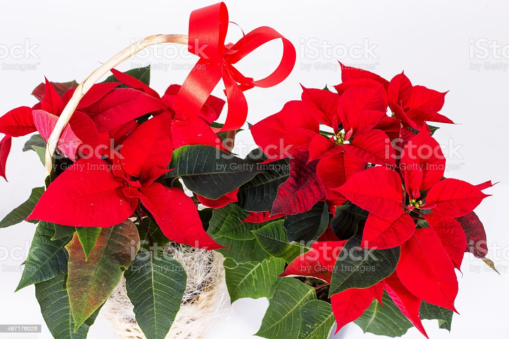 Red symbol of Christmas. Poinsettia flower isolated over white. stock photo