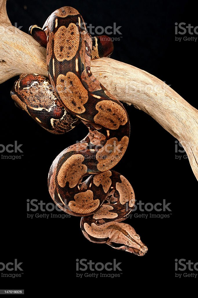 Red Tail Boa. stock photo