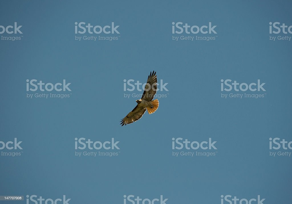 Red Tail Hawk and blue sky royalty-free stock photo