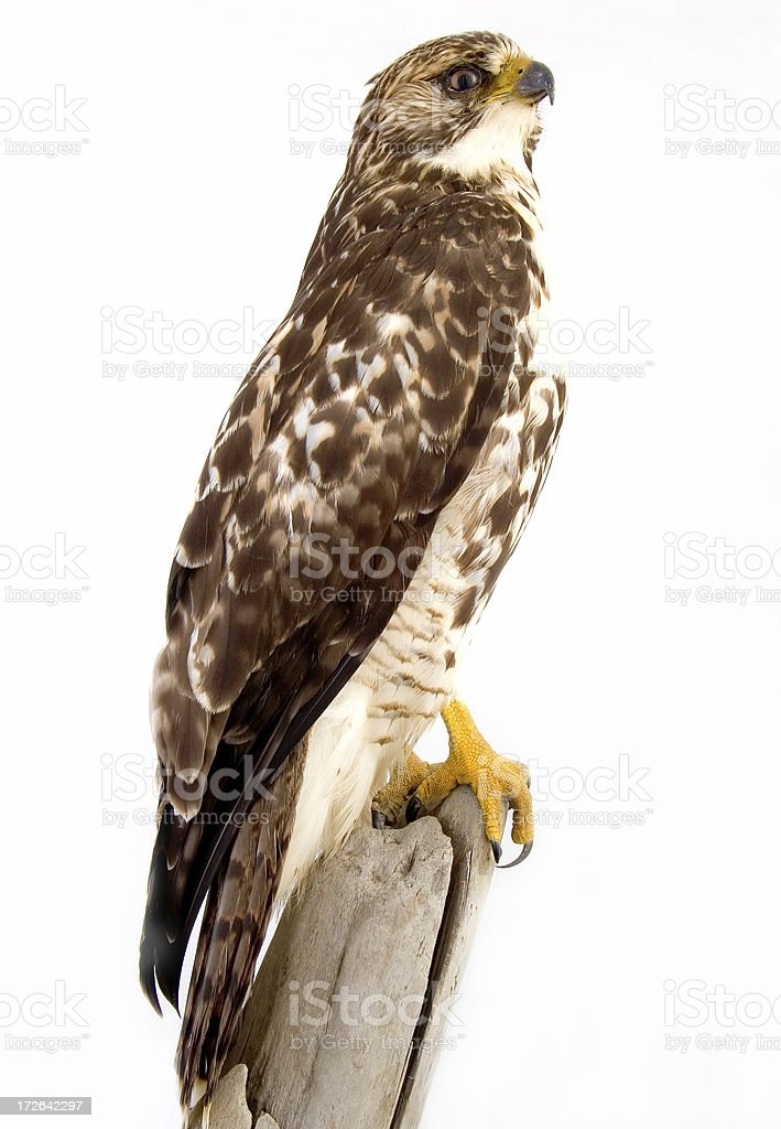 Red Tail # 5 royalty-free stock photo