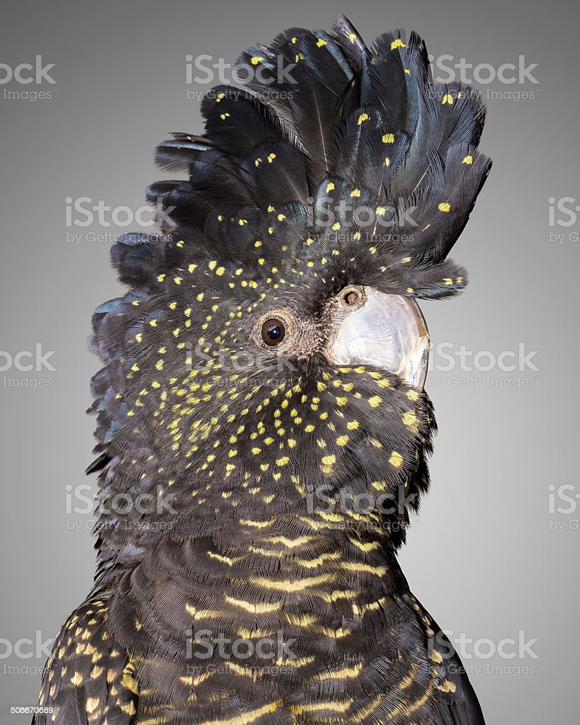 red tailed black cockatoo stock photo