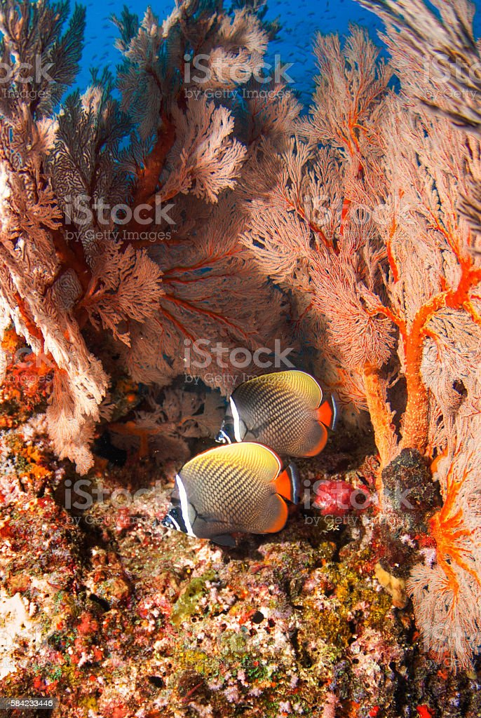 Red tailed butterfly fish with seafan stock photo