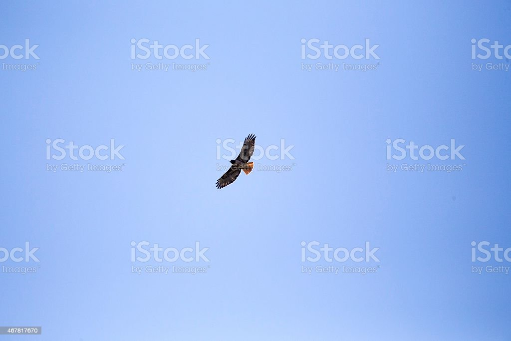 Red Tailed Hawk In Flight stock photo