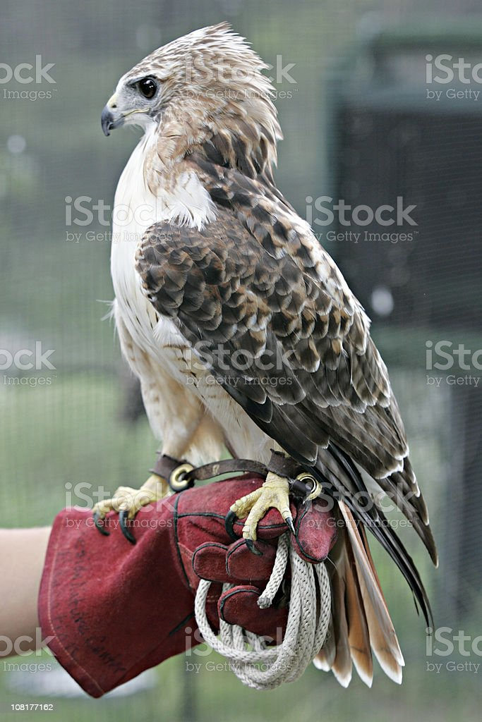 Red Tailed Hawk on Keepers Gloved Hand stock photo