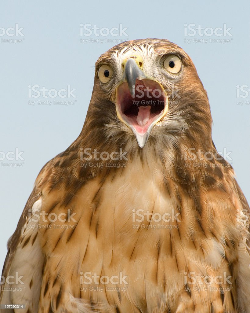 Red Tailed Hawk stock photo