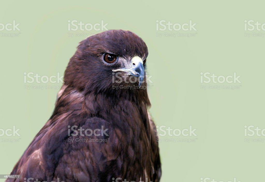Red Tailed Hawk royalty-free stock photo