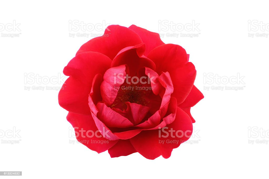 Red tea rose isolated on white background stock photo
