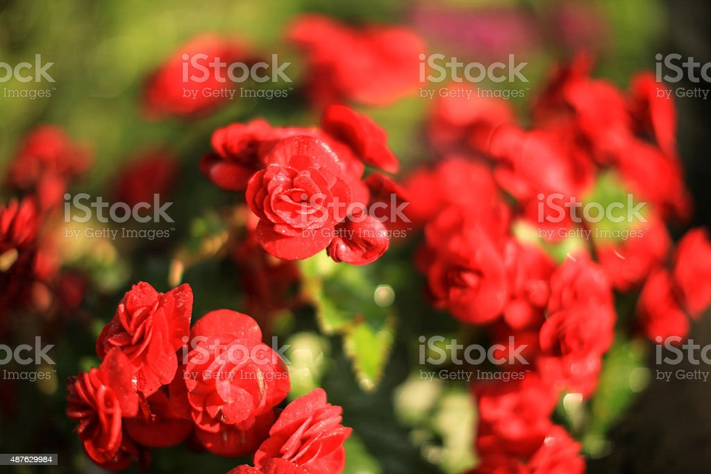 Red tea roses stock photo