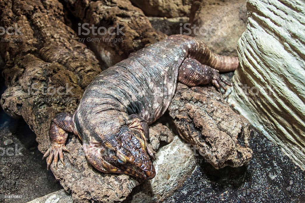 Red tegu stock photo