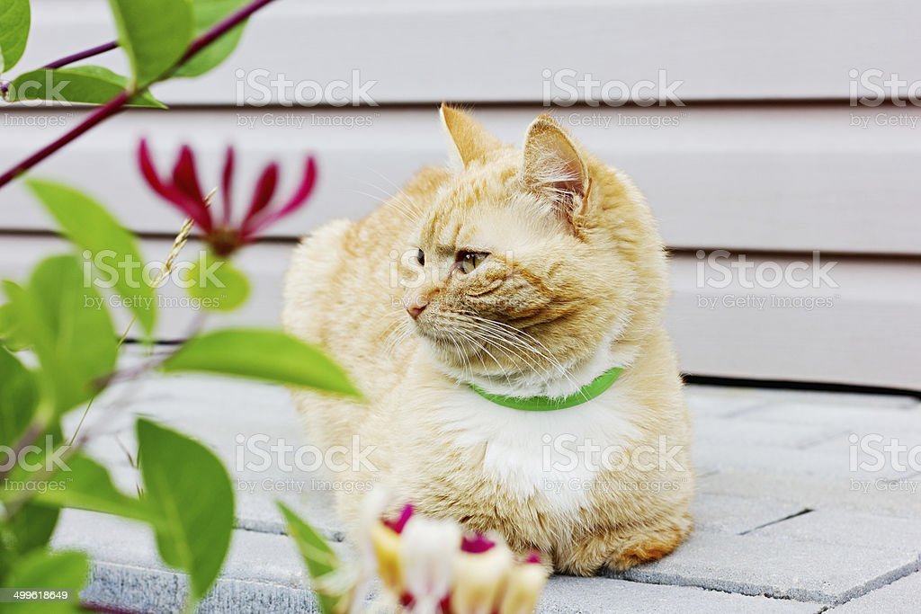 red thoughtful cat stock photo