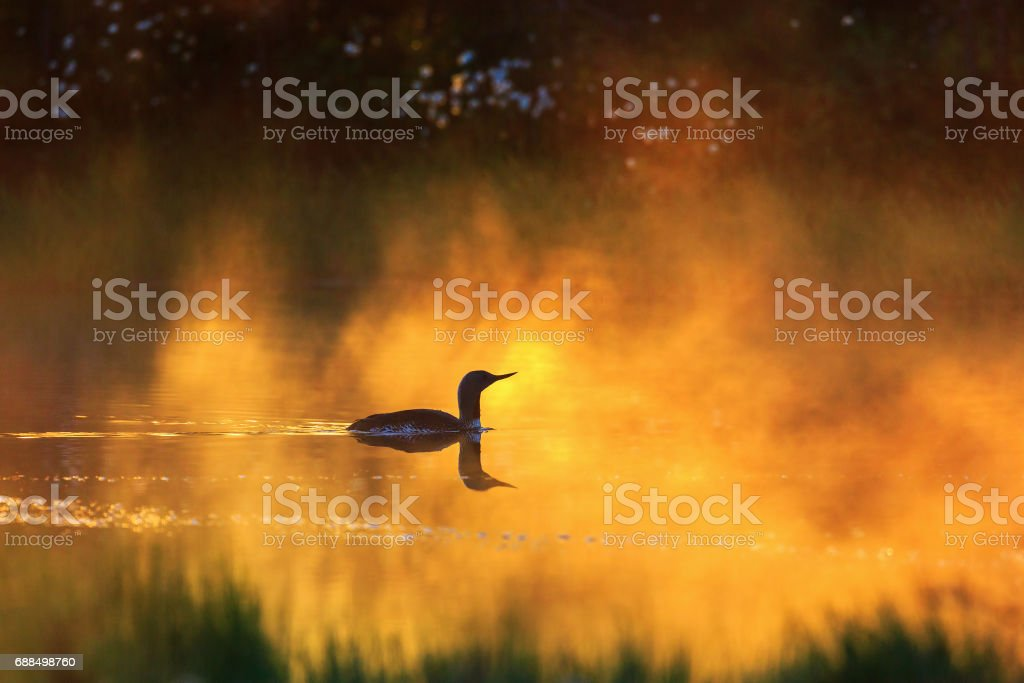 Red throated loon in morrning fog stock photo